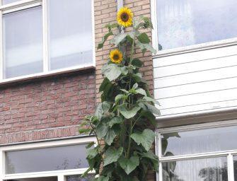 Grootste zonnebloem aan de Populierenhof in Bodegraven