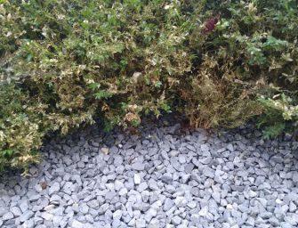 Buxusmottenplaag in Bodegraven