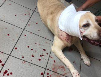 Update: Labrador gewond na aanval door andere hond in kennedybos
